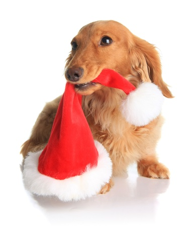 Naughty dachshund dog chewing on Santas hat.  Stock Photo