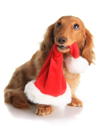 scrooge: Naughty dachshund dog chewing on Santas hat.  Stock Photo