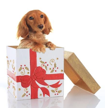 caja navidad: Dachshund cachorro en un cuadro de Navidad. Foto de archivo