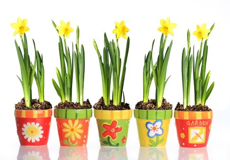 Daffodils in colorful pots. photo