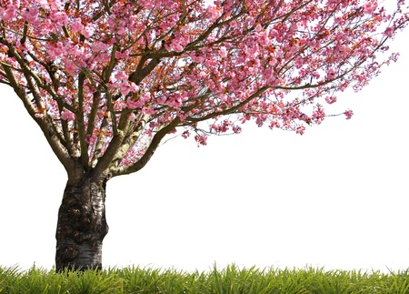 cherry blossom: Gorgeous early spring blooming cherry trees in pink.  Stock Photo