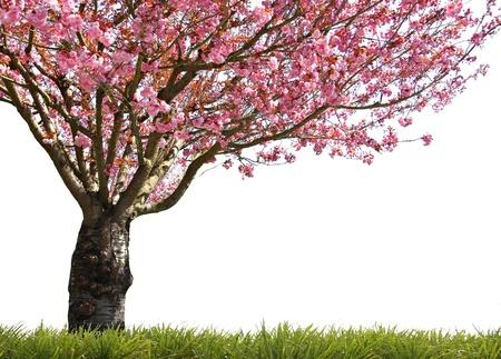 arbol cerezo: Gorgeous primavera temprana blooming cerezos en rosa.