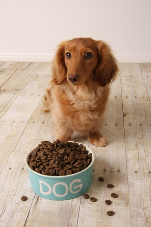 dachshund dog seating in front of her food dish.