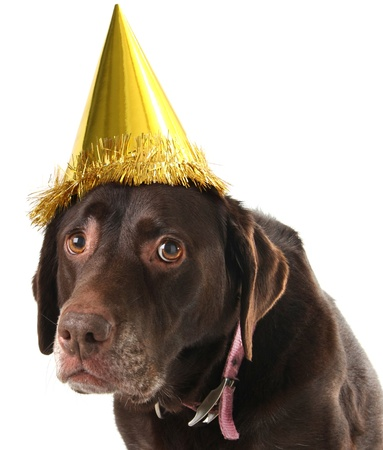 Old labrador retriever wearing a birthday hat.  photo
