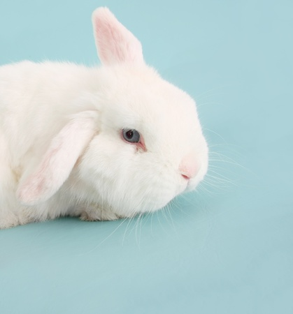 lop lop rabbit white: White Easter bunny rabbit on blue.