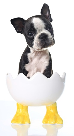 humor: Boston Terrier puppy in a cracked egg Easter dish.