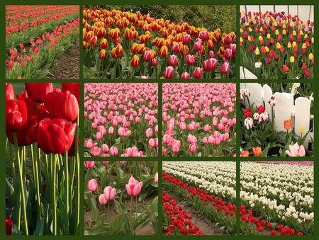 Collage of spring flowering tulips. photo