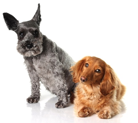 A schnauzer and a dachshund isolated on white.  Stock Photo