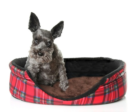 Angry Schnauzer  in a dog bed.  Archivio Fotografico