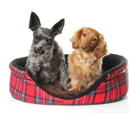 Schnauzer and dachshund together in a dog bed.  Stock Photo