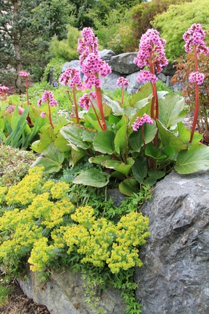 Beautiful spring flowering rock garden. Pink flowers are called Bergenia cordifolia or Elephant ears. Yellow ones are called Euphorbia polychroma or Spurge.  photo