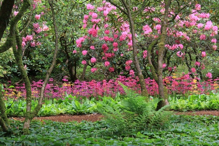 Stunning spring garden in full bloom with Rhododendron, primula and ferns.