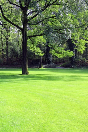 backyards: Single large oak tree on a beautifully manicured lawn.