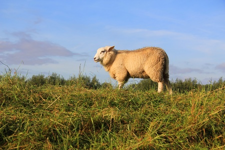 wooly: Wooly sheep grazing in the field.  Stock Photo