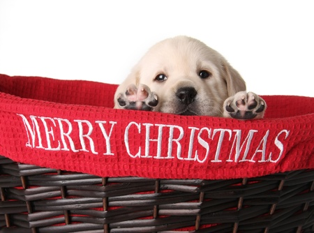critters: Yellow labrador puppy in a red Christmas basket.