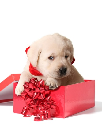 Labrador puppy in a red Christmas box.