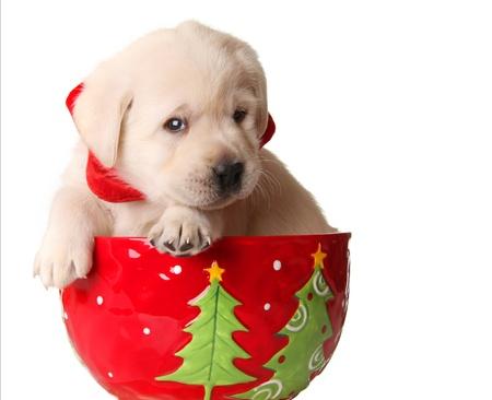 Yellow labrador puppy in a christmas mug.