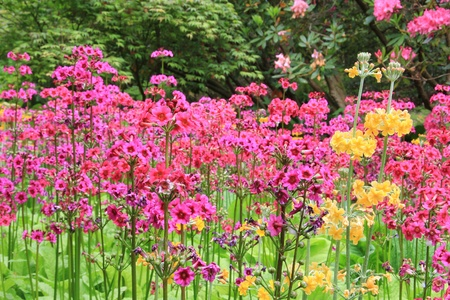 primula: Spring blooming flowers in a park garden.  Stock Photo