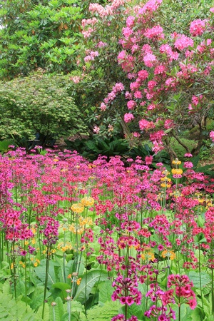 primula: Spring blooming flowers in a park garden. Also availabe in horizontal.  Stock Photo
