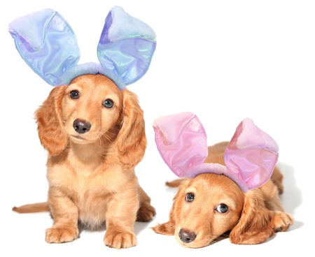 Easter bunny dachshunds puppies.  Stock Photo - 12420869