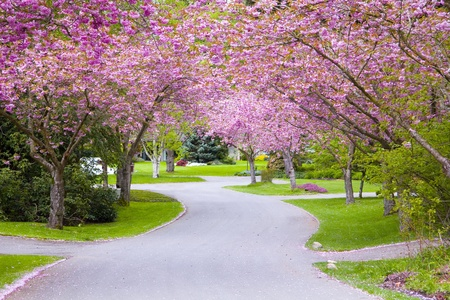 Cherry tree blossoms on a quiet country road