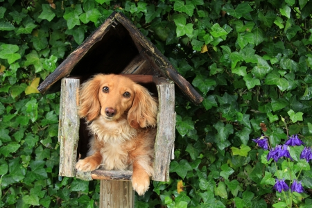 wiener dog: Dachshund puppy in a mailbox   Stock Photo