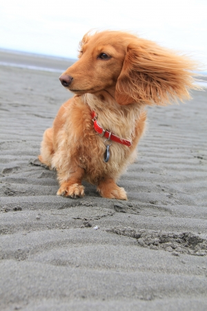 blowing of the wind: Windy day at the beach for this little dachshund puppy   Stock Photo