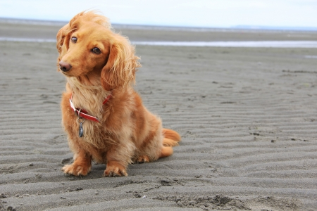 hairy adorable: Dachshund on the beach
