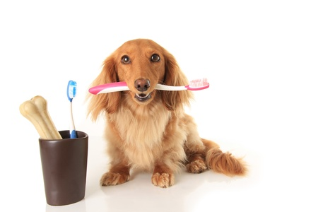 Dachshund dog holding a toothbrush   Imagens