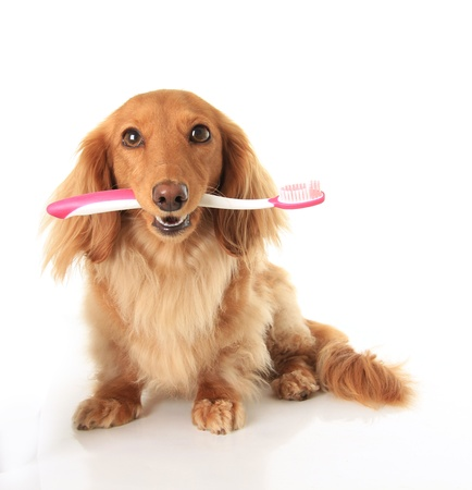 tooth brush: Dachshund dog with a toothbrush Stock Photo