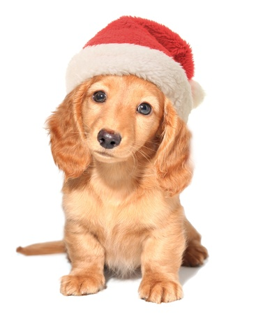 Miniature dachshund puppy wearing a Santa hat Stock Photo - 16295512