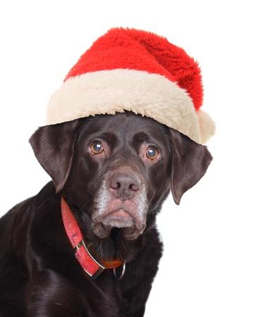 chocolate labrador retriever: Old labrador retriever wearing a Santa hat