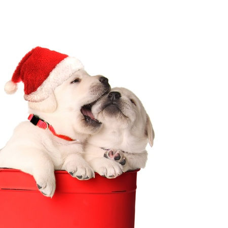 Playfull Christmas santa puppies in a red container