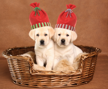 Two yellow lab puppies wearing Christmas santa hats   Stock Photo