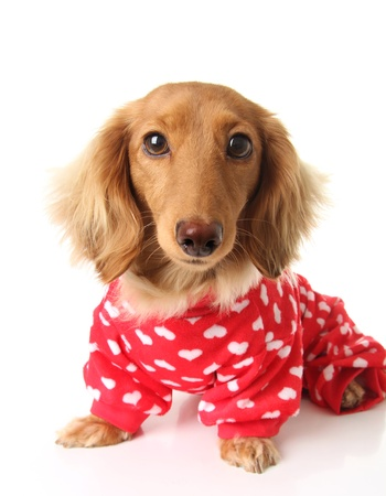 Dachshund puppy wearing a valentines outfit Stock Photo - 17182011