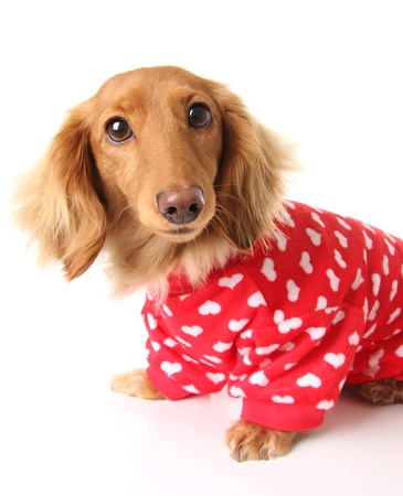 Dachshund puppy wearing a valentines outfit  Stock Photo - 17182005