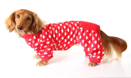 Dachshund puppy wearing a valentines outfit  Stock Photo - 17182007