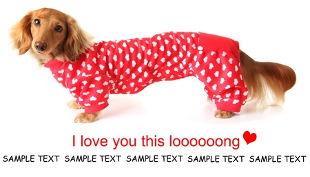 Extra long Dachshund puppy wearing a valentines outfit  Stock Photo