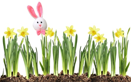 Easter bunny on a row of daffodils isolated on white Stock Photo - 18138143
