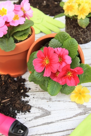 Spring Primula flowers and planters  Also available in horizontal Stock Photo - 18264480