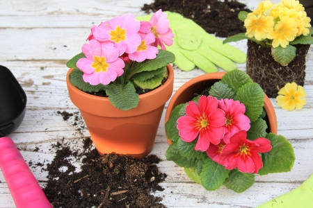 Spring Primula flowers and planters  Also available in vertical  photo