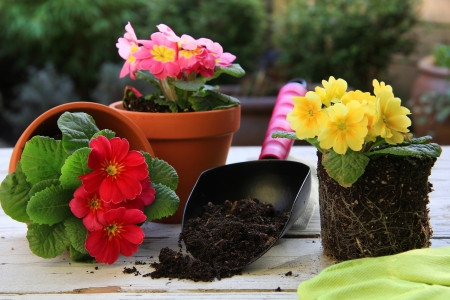 clay pot: Spring Primula flowers and planters