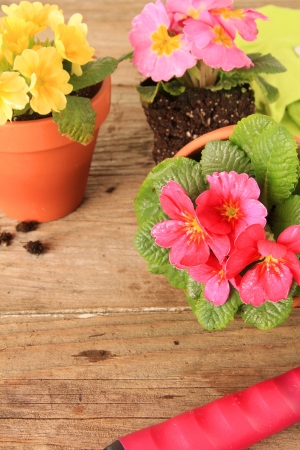 Spring Primula flowers and planters  Also available in horizontal  photo