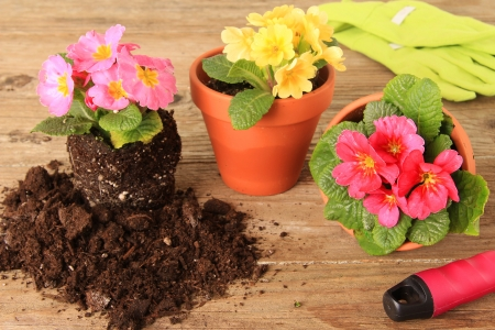 Spring Primula flowers and planters  Also available in vertical  Stock Photo - 18427398