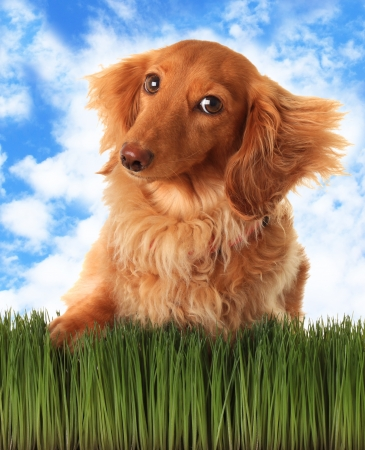 Longhair dachshund with attitude, outside in the grass   Stock Photo
