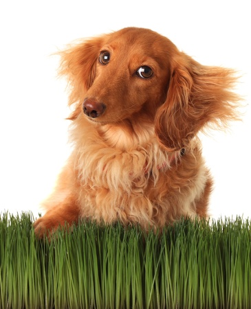 Longhair dachshund on grass   Stock Photo - 18653184