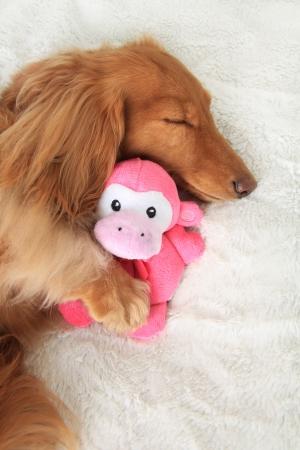 小さい動物のぬいぐるみを抱いて寝てダックスフント