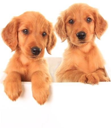 A golden Irish red Retriever puppy