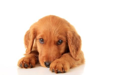 Un chiot de chien d'arrêt rouge irlandais d'or
