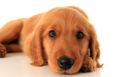 golden: Golden retriever puppy